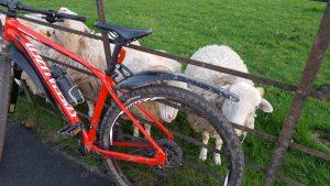 sheep_eating_bike!